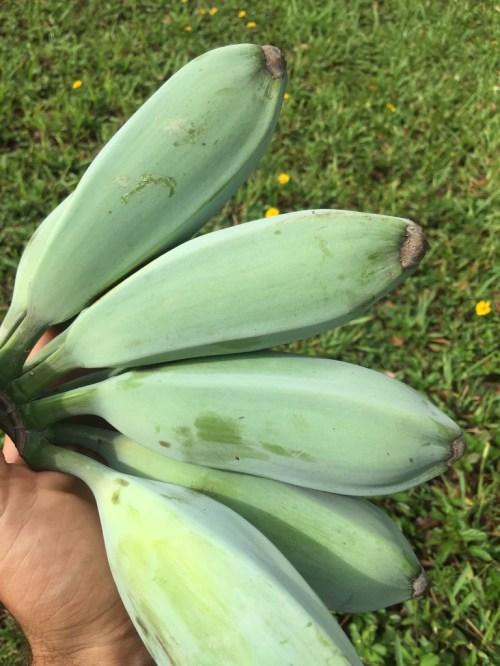 Medium Of Blue Java Banana