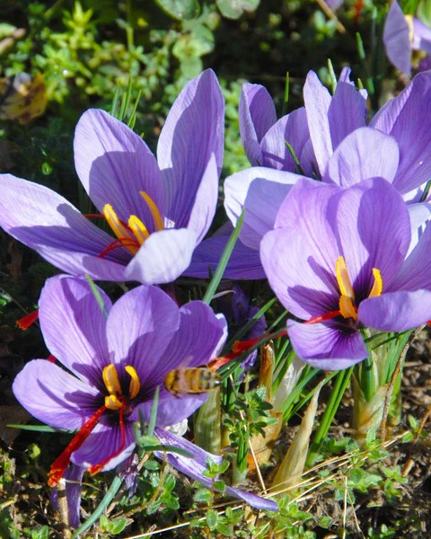 Narcissus Cyclamineus Crocus Sativus Bulbs - Buy Saffron Crocus Online At Farmer