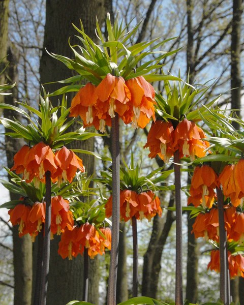 Narcissus Cyclamineus Fritillaria Imperialis 'aurora' Bulbs - Buy 'orange Crown
