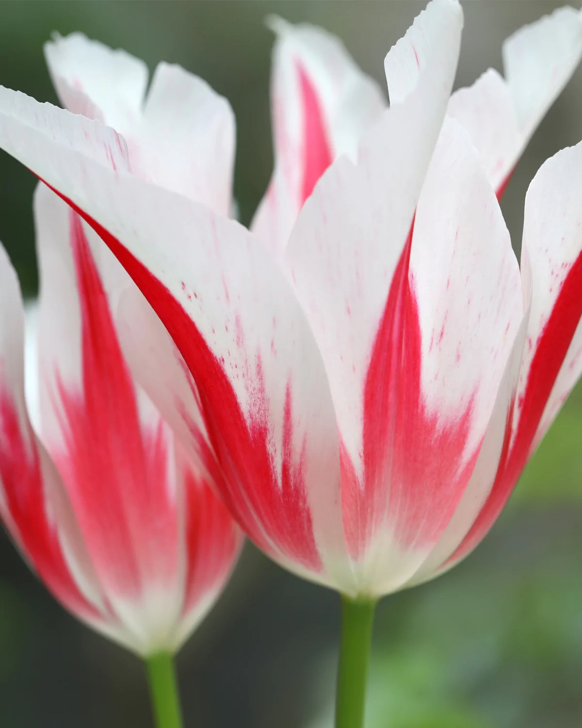 Tulip Marilyn Bulbs Buy Online At Farmer Gracy Uk