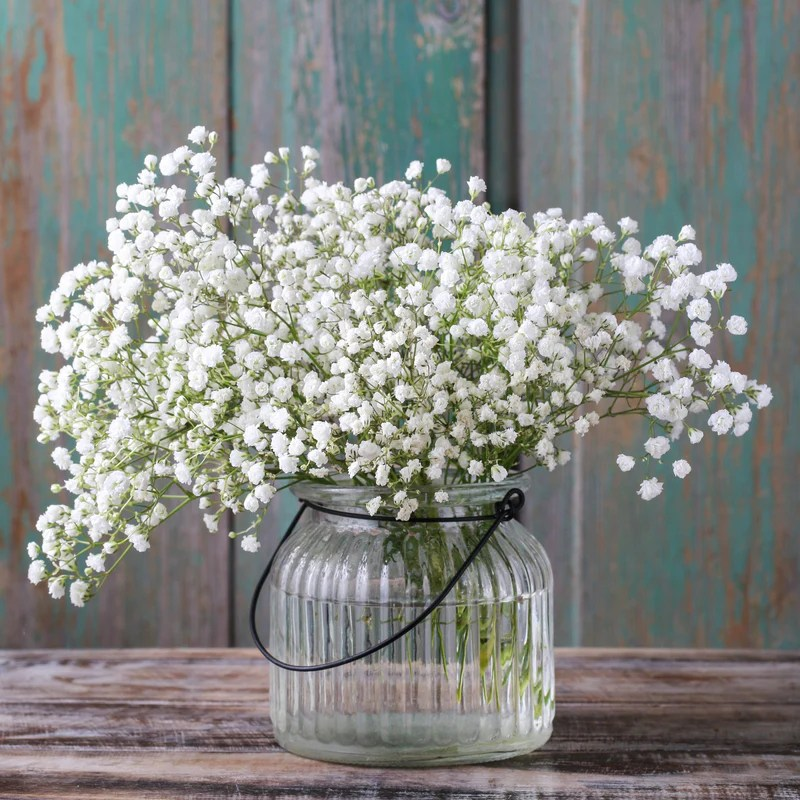 Fall Wallpaper With Deer Gypsophila Paniculata Baby S Breath White Easy To Grow
