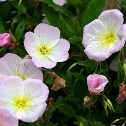 Small Crop Of Pink Evening Primrose