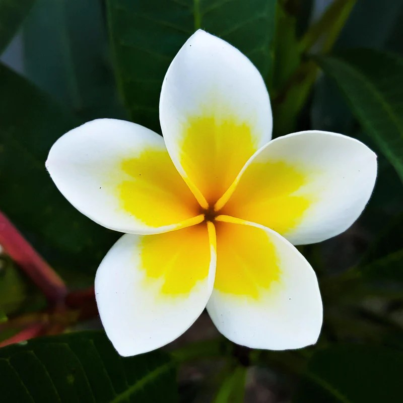 Fall Best Wallpapers Plumeria Plant Select Yellow And Whites Fragrant Potted