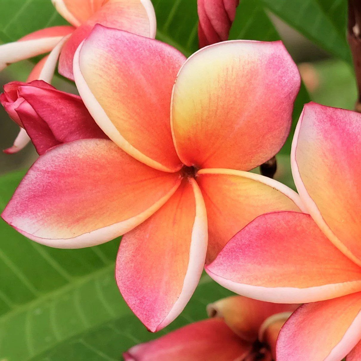 Plumeria Plant Select Pink Rainbows Fragrant Potted