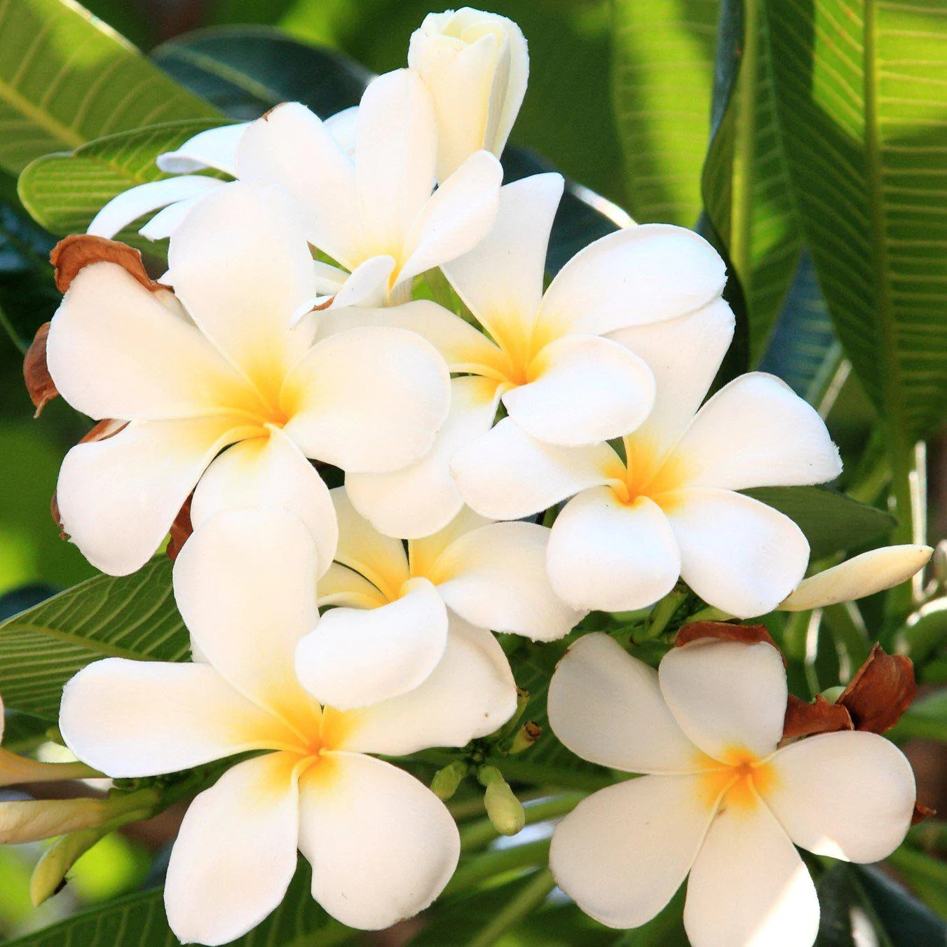 Plumeria Plant Select White Potted Easy To Grow Bulbs