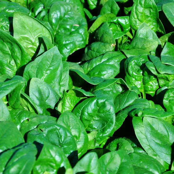 Spinach Seeds - Grow Spinach From Seed – Harris Seeds