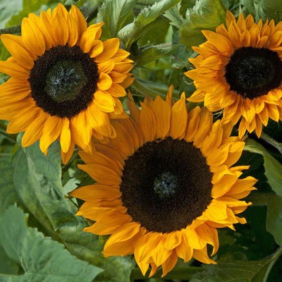 Chocolate Day Hd Wallpaper Sunflower Seeds Grow Sunflowers From Seed Harris Seeds