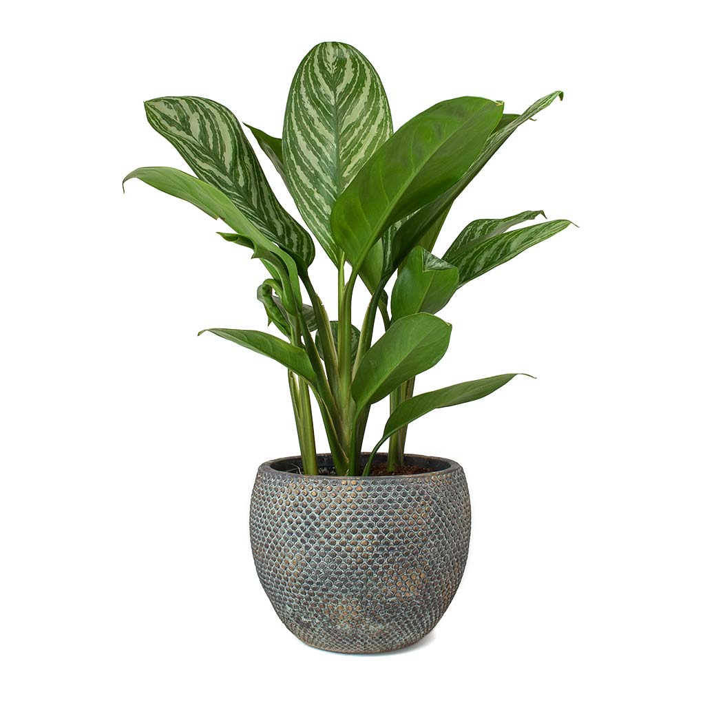 Asian Plants For Sale Aglaonema Stripes Chinese Evergreen House Plants Hortology