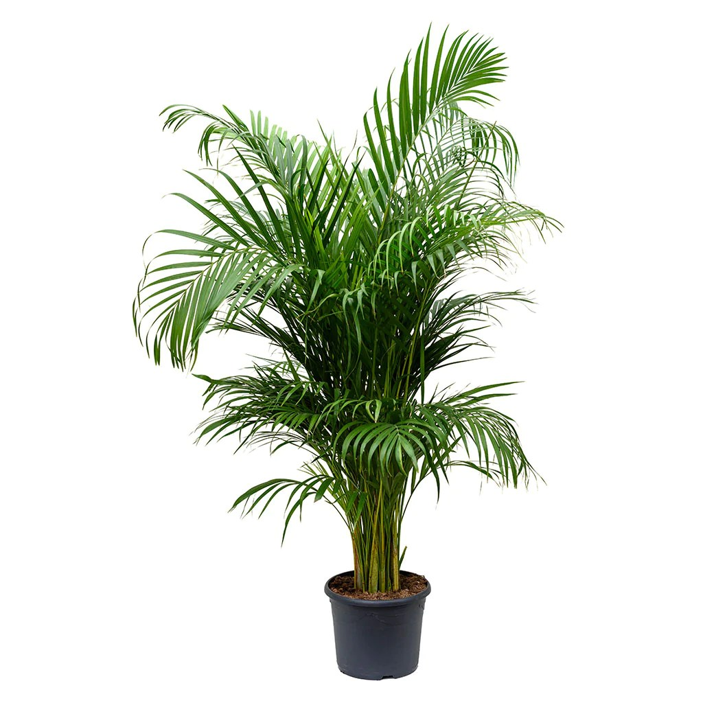 Chrysalidocarpus Space For Life Livistona Rotundifolia Footstool Palm Purify Your Air Hortology