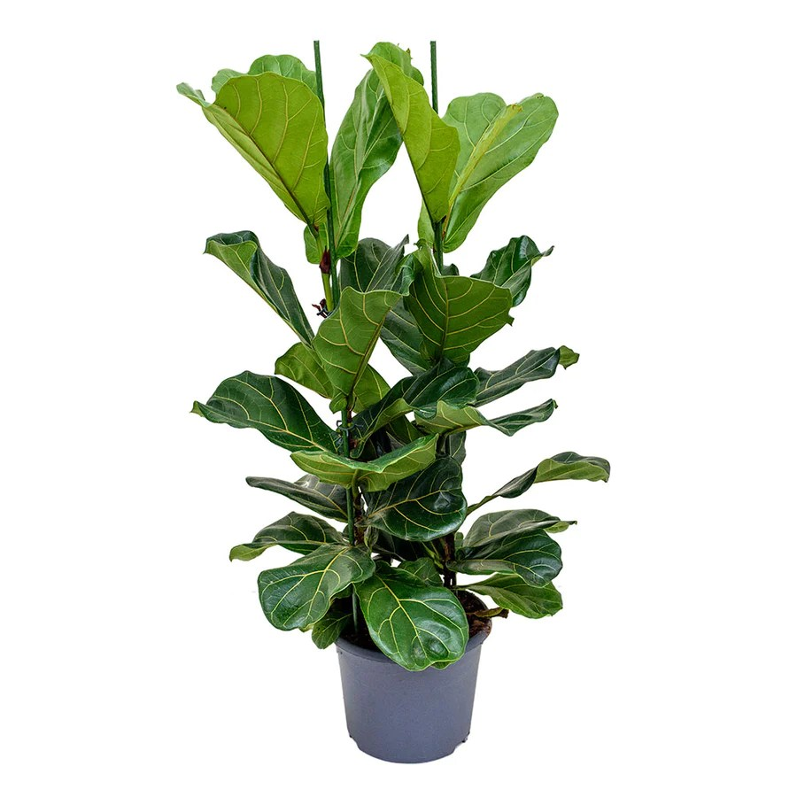 Unusual House Plants For Sale Large Tall Houseplants Buy Online Hortology Co Uk