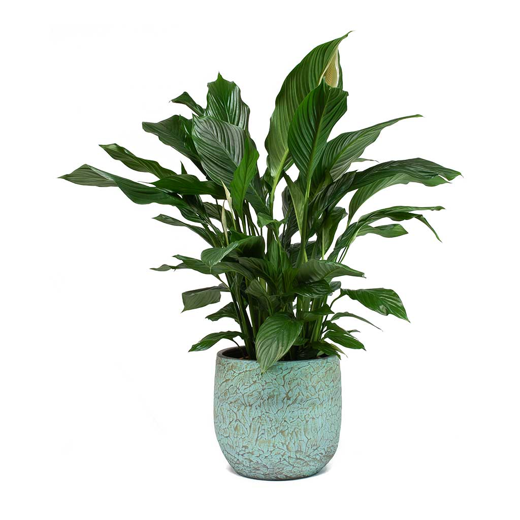 Spathiphyllum Wallisii Spathiphyllum Sweet Lauretta Peace Lily Purify Your Air Hortology