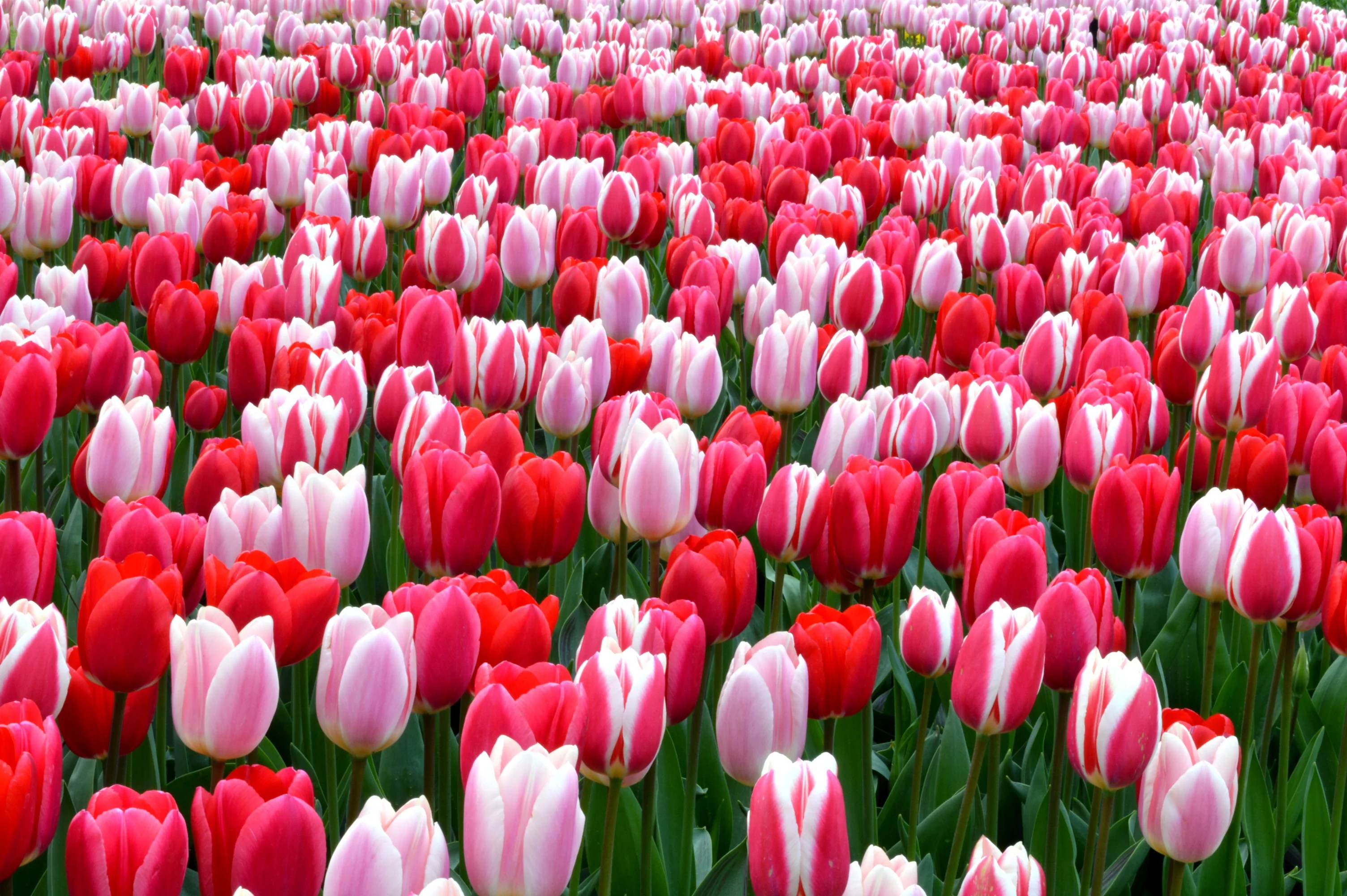 Tulip Strawberry Fields Collection Very Popular Dutchgrown