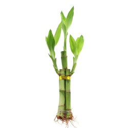 Small Of Bamboo Growth Rate