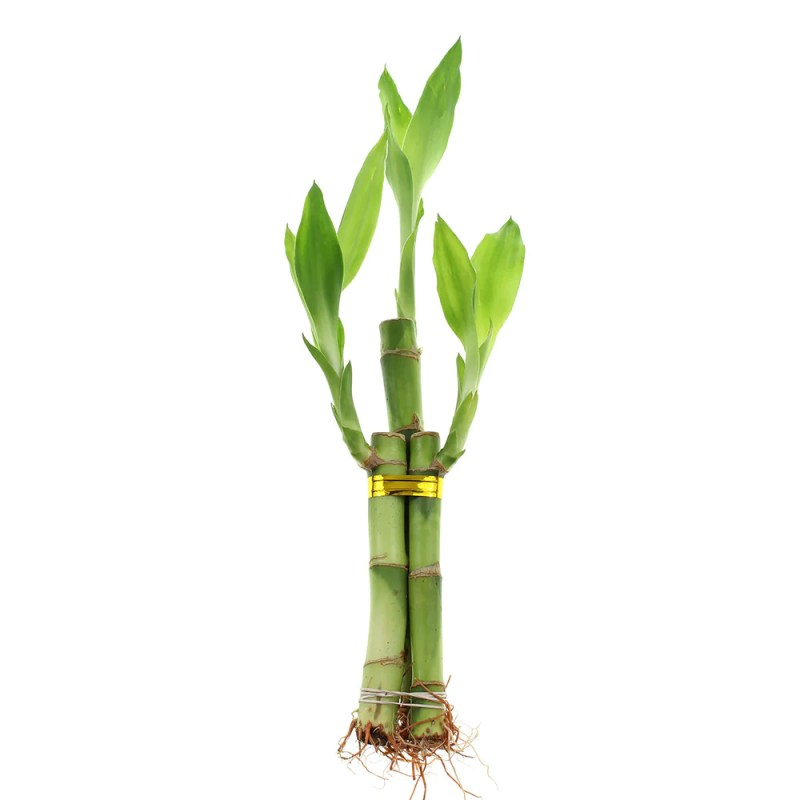 Large Of Bamboo Growth Rate