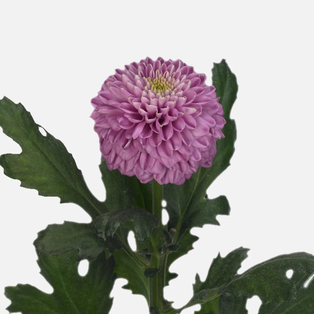 Chrysanthemen Pflege Chrysanthemen Kugel, Hellviolett Schenken – Tom Flowers