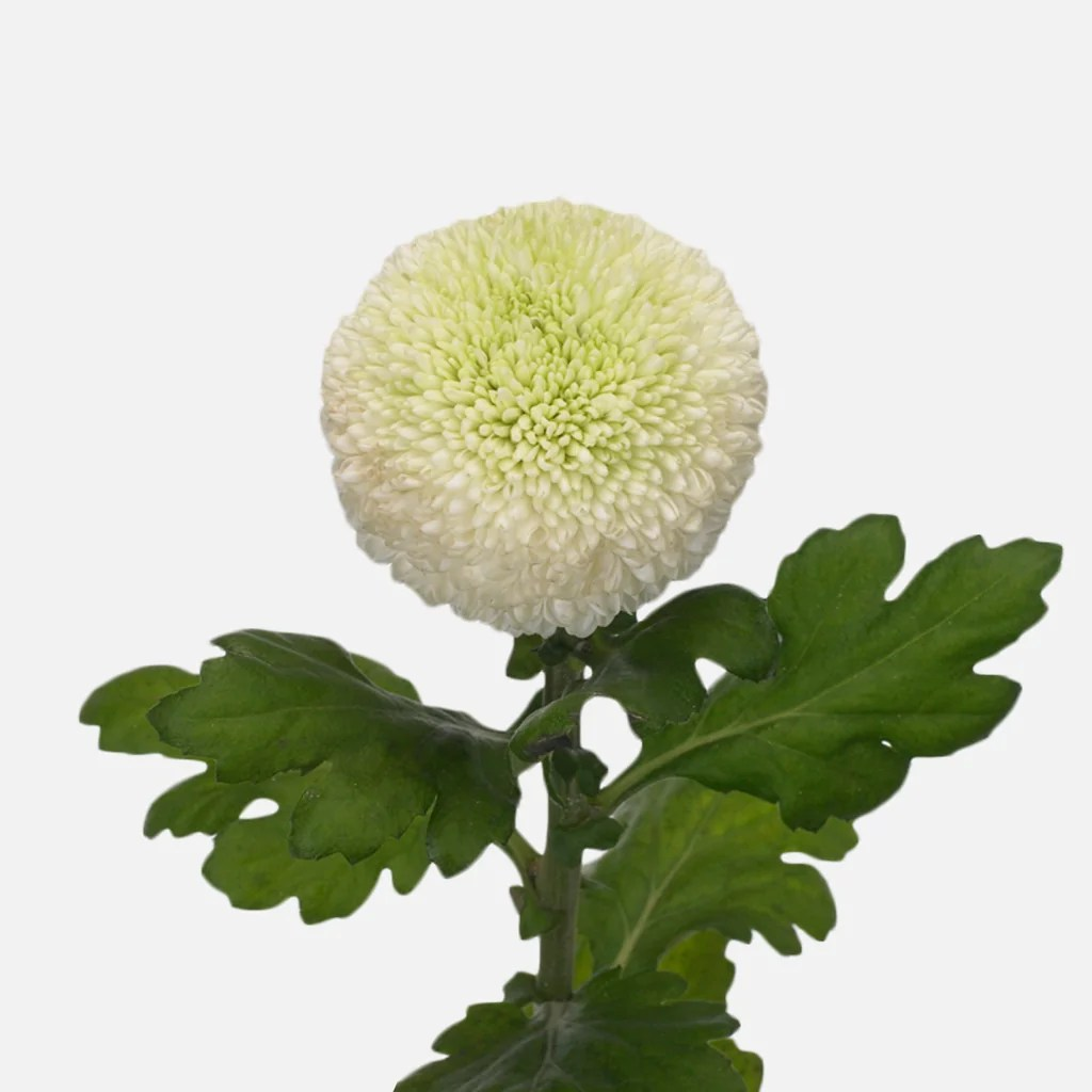 Chrysanthemen Pflege Chrysanthemen Kugel, Weiss Schenken – Tom Flowers