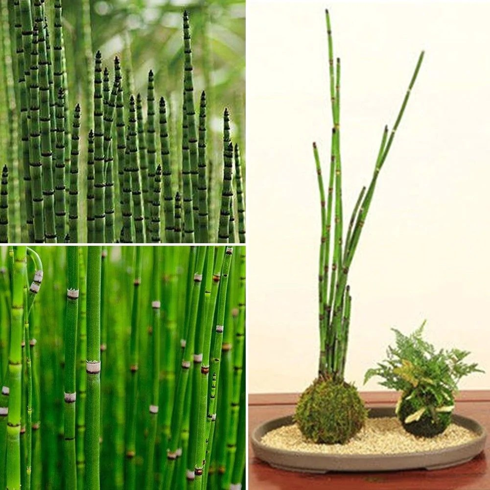 Phyllostachys Nigra In Pots Rare Mini Black Moso Bamboo Tree Seeds Plants Decor Indoor Home