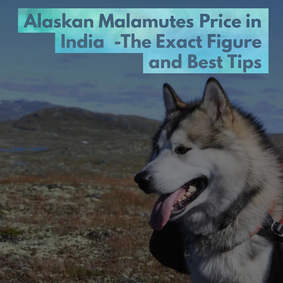 Husky Price Alaskan Malamutes Price In India The Exact Figure And Best Tips