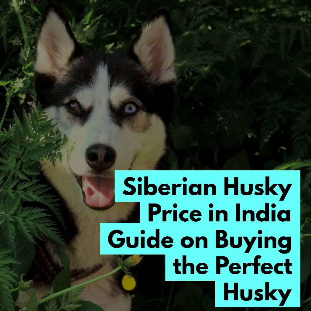 Husky Price Siberian Husky Price In India Guide On Buying The Perfect Husky