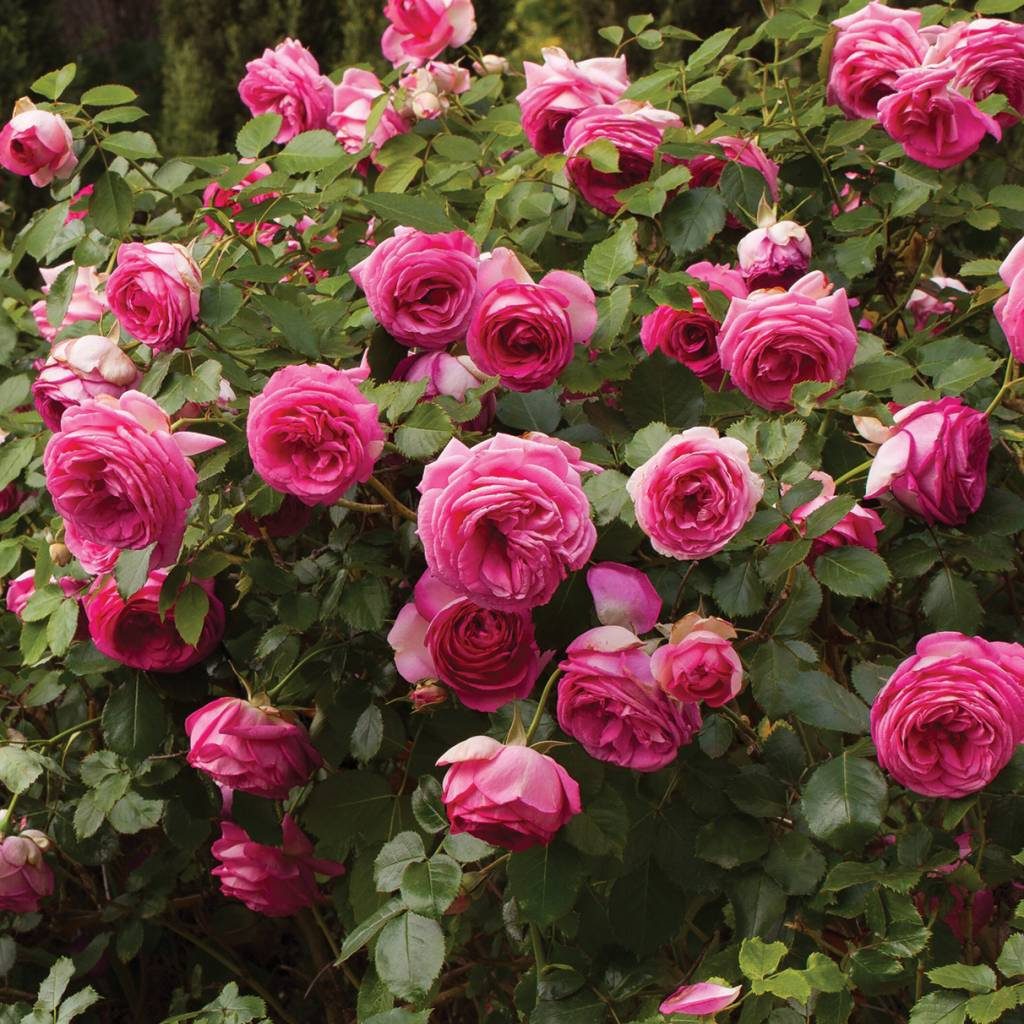 Rose Rose Pretty In Pink Eden Climber 5 Gal