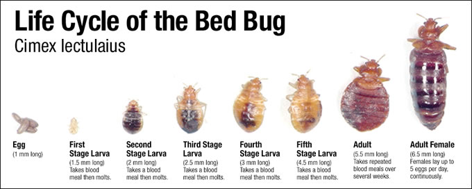 Baby Bed Bugs (Nymphs) - Color, Pictures, Movement - PestPolicy