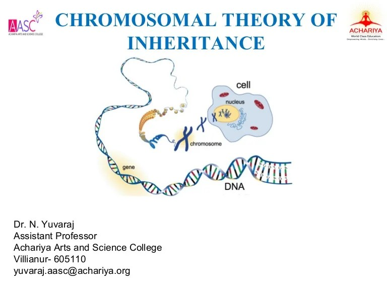 Chromosome Theory Chromosomal Theory Of Inheritance