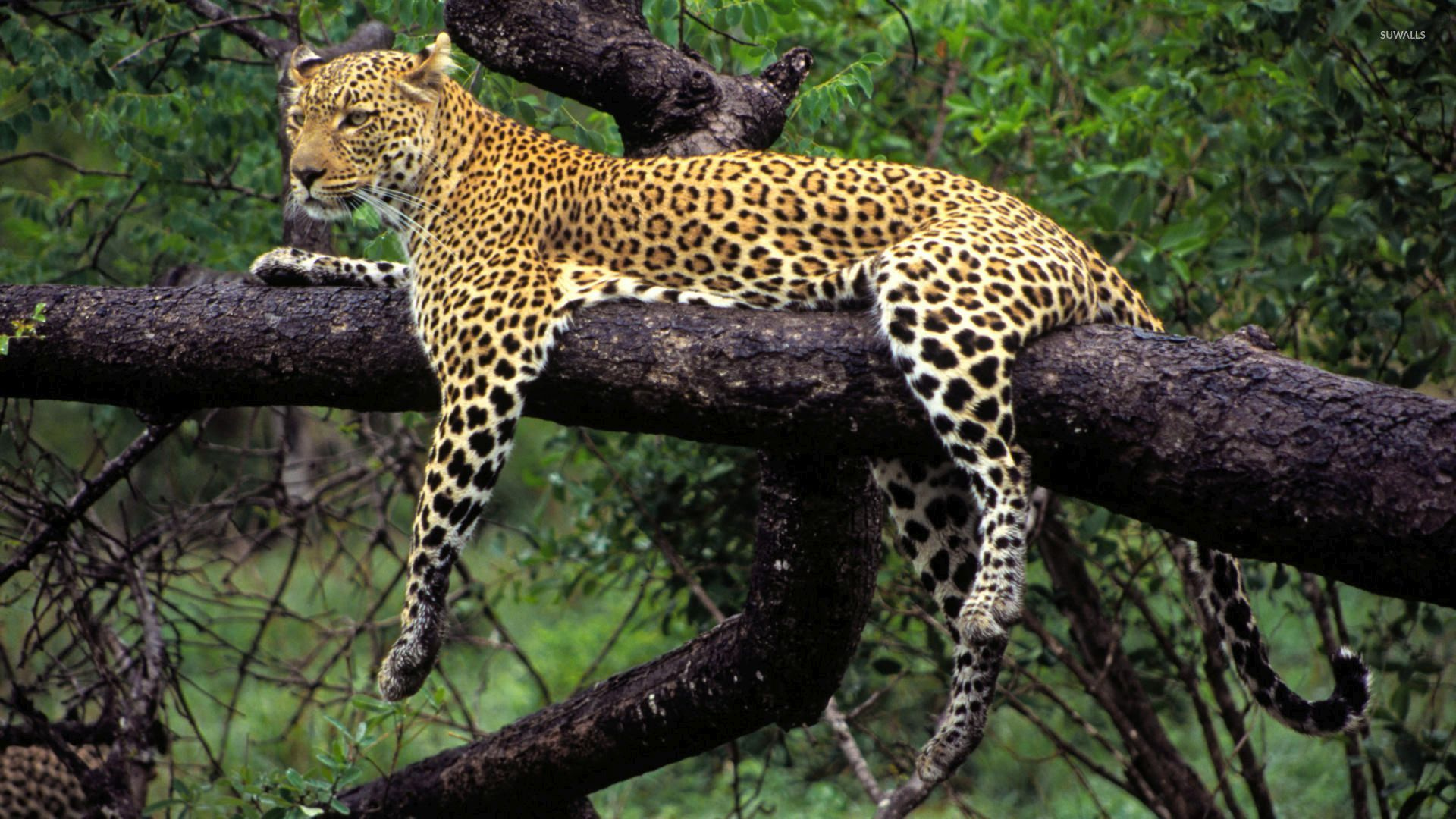 Free Fall Cat Wallpaper African Leopard In A Tree Wallpaper Animal Wallpapers