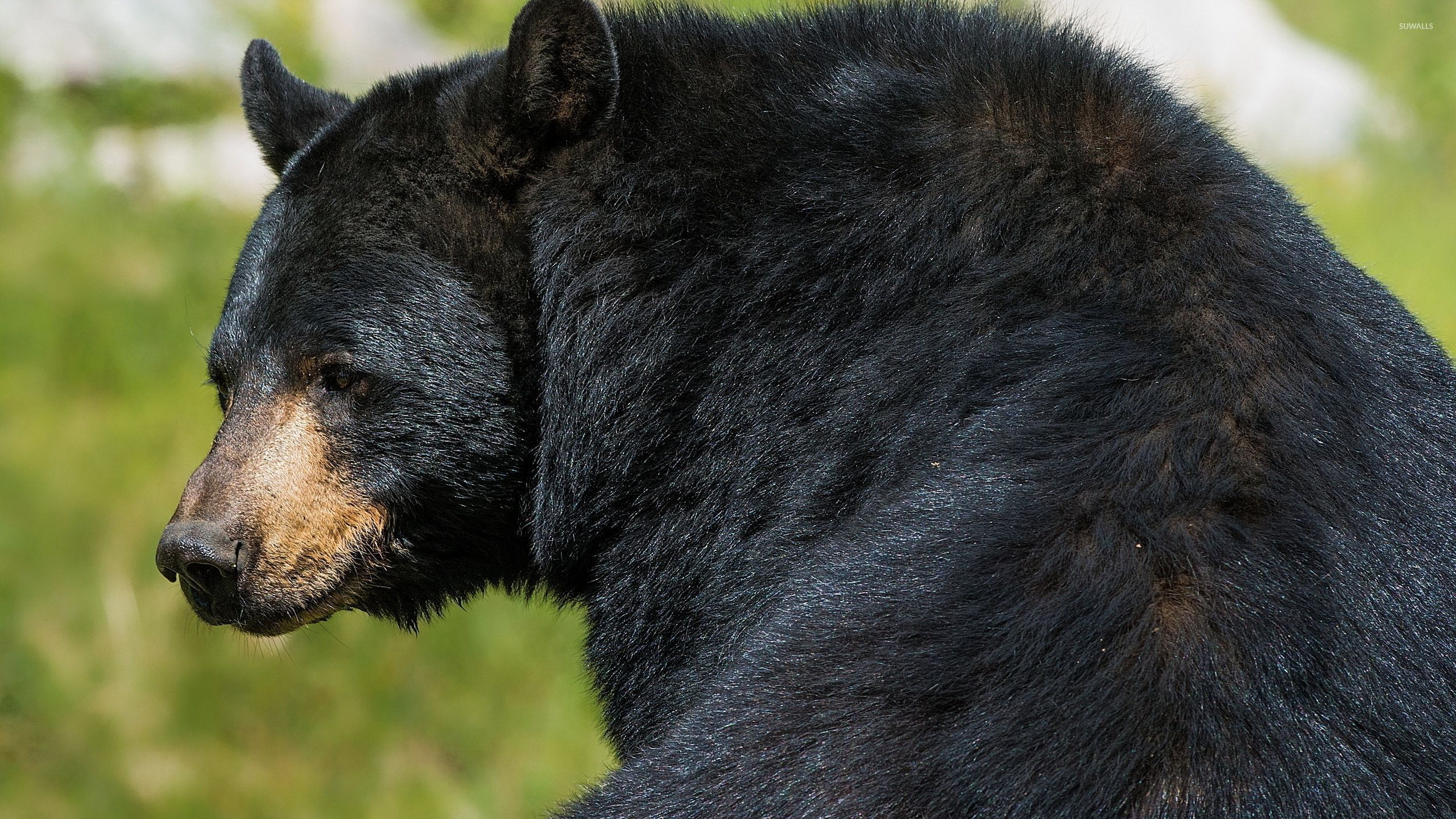Awesome Quotes Wallpapers Free Download American Black Bear Wallpaper Animal Wallpapers 32574