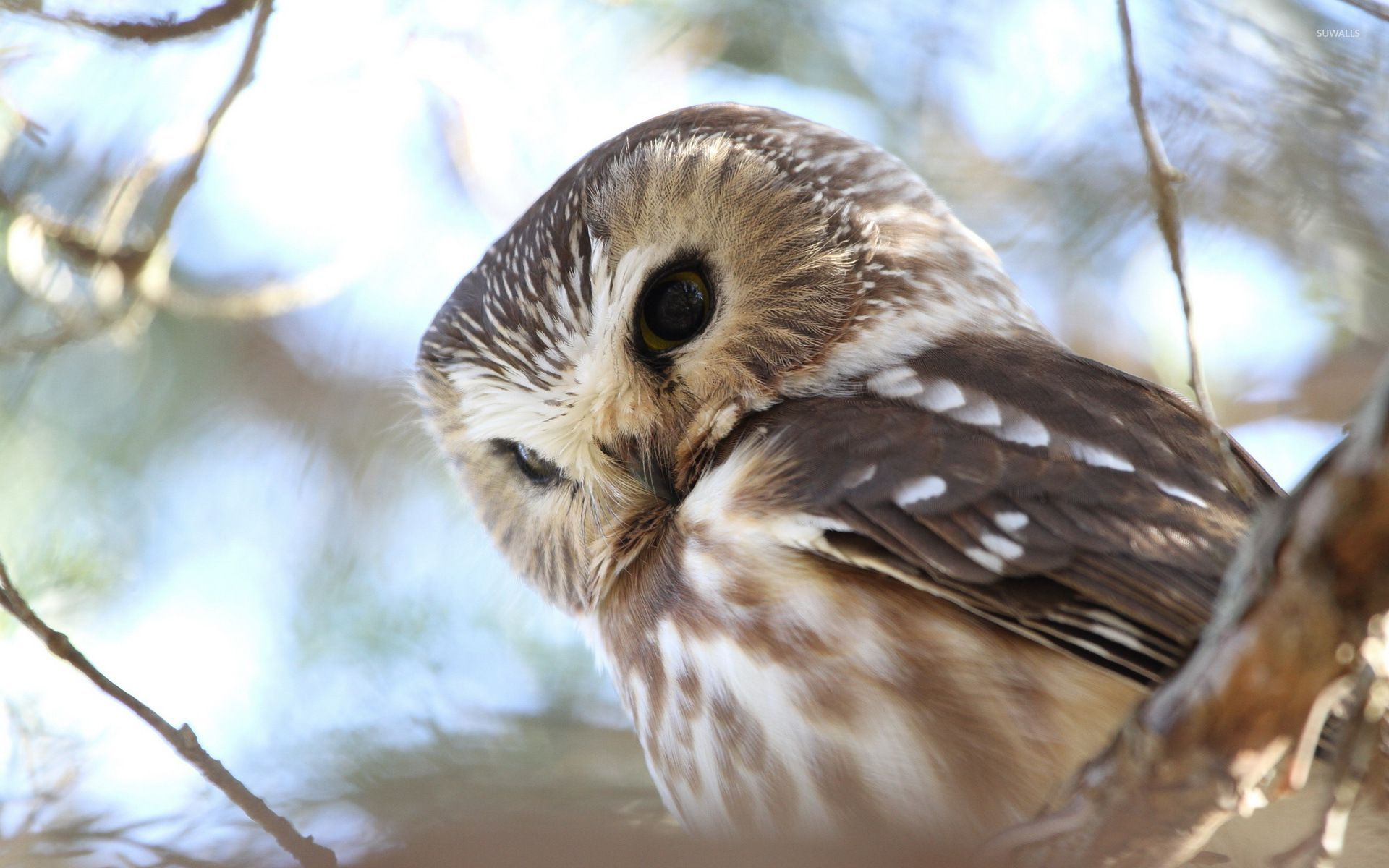 Cute Baby Hd Wallpaper For Laptop Barred Owl 2 Wallpaper Animal Wallpapers 32628