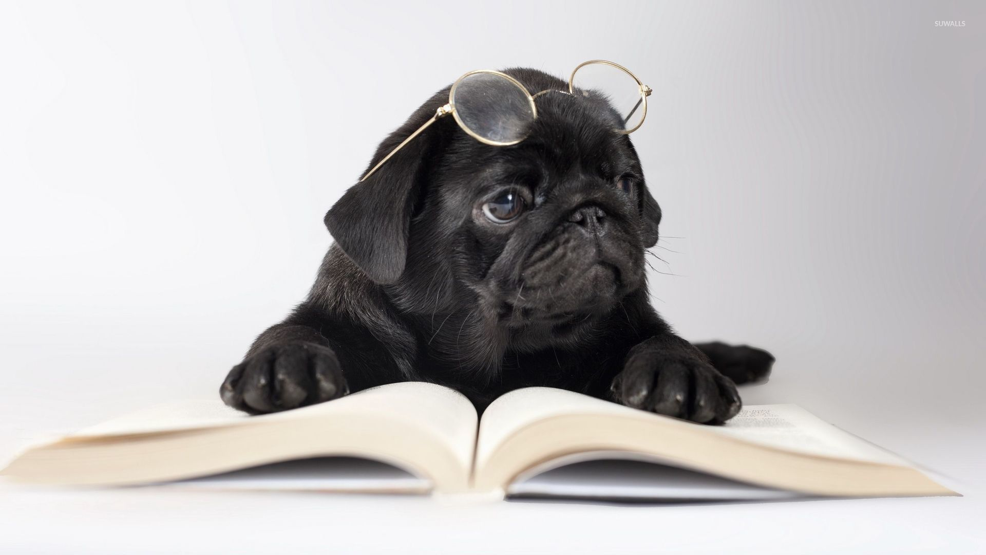 Cute Puppy Pics Wallpaper Black Pug With Glasses Wallpaper Animal Wallpapers 50637