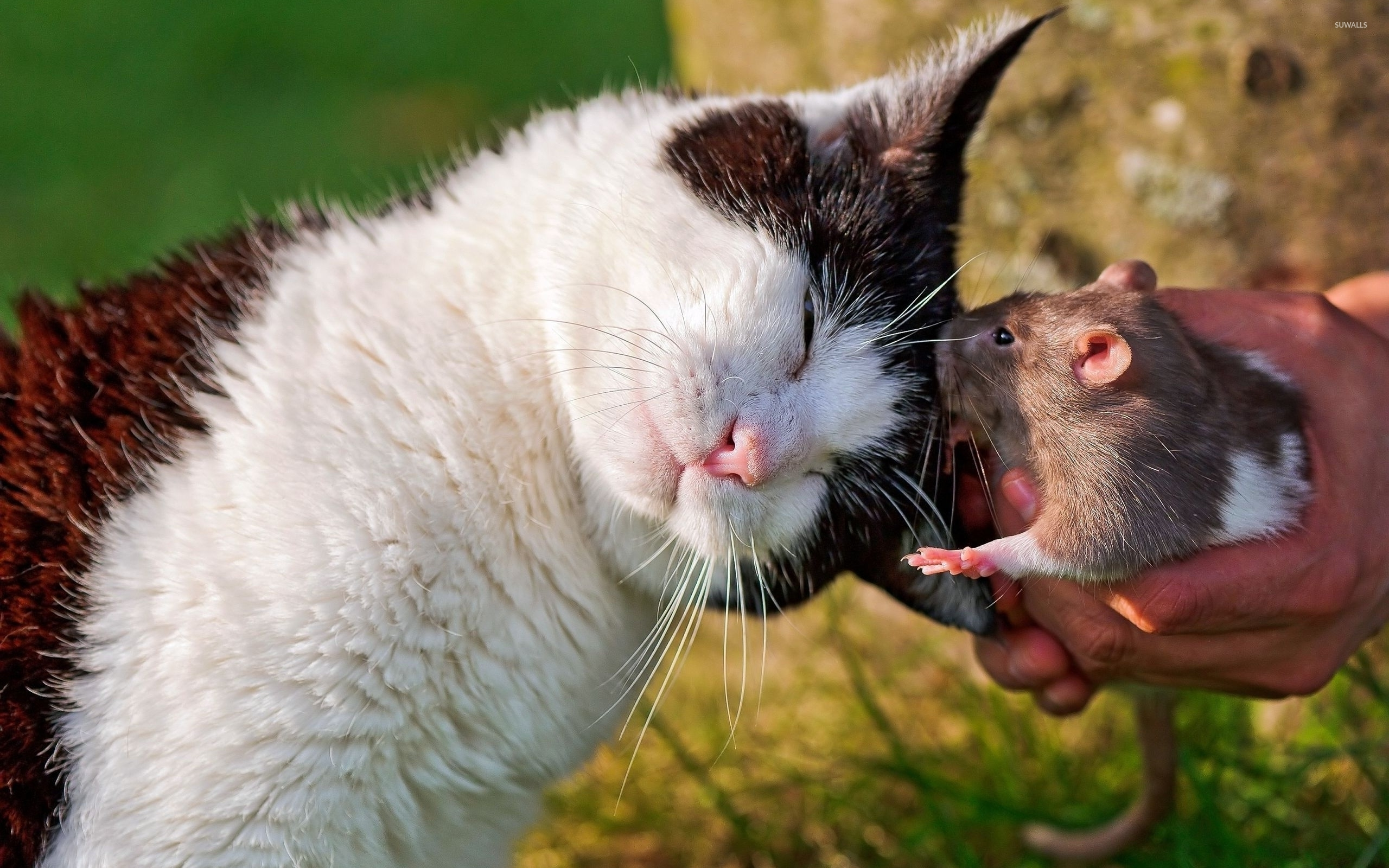 Cute Cat Wallpapers High Resolution Cat Cuddling With A Rat Wallpaper Animal Wallpapers 35083