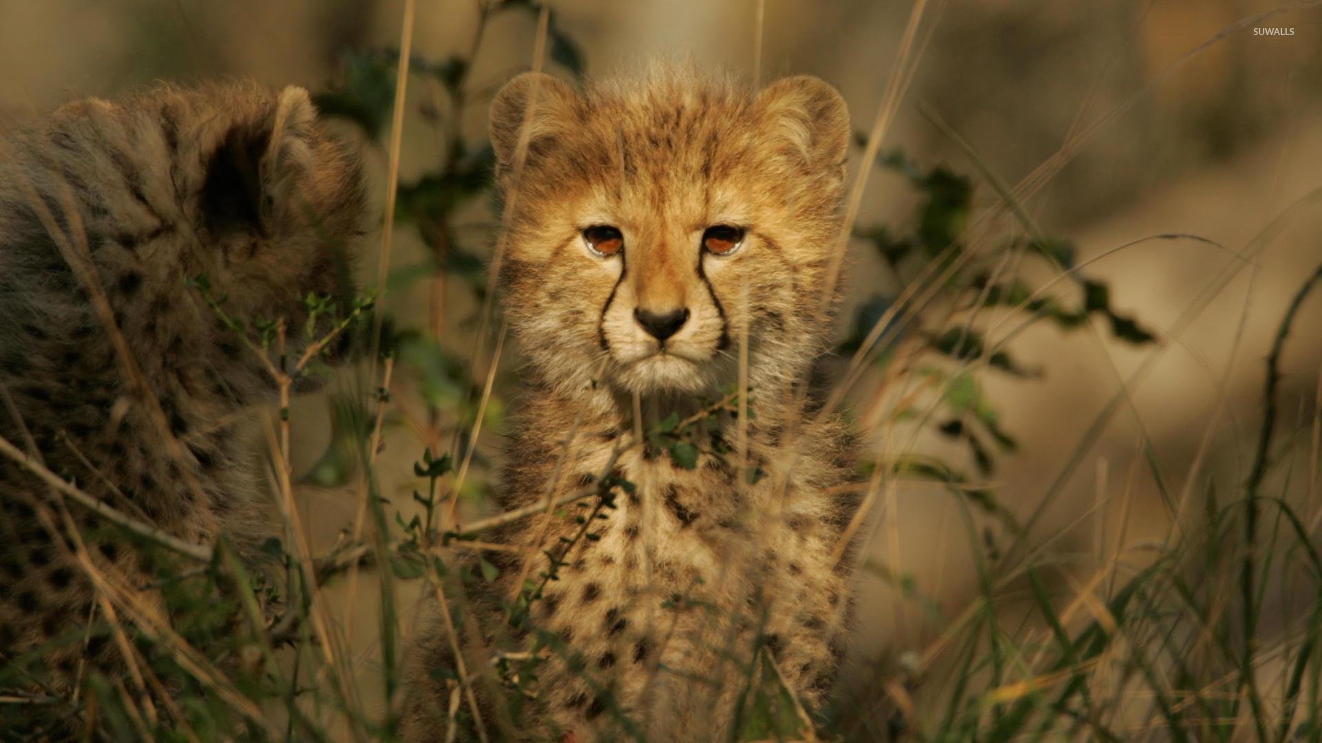 Cute Little Kitten Desktop Wallpapers Cheetah Cub Wallpaper Animal Wallpapers 3320