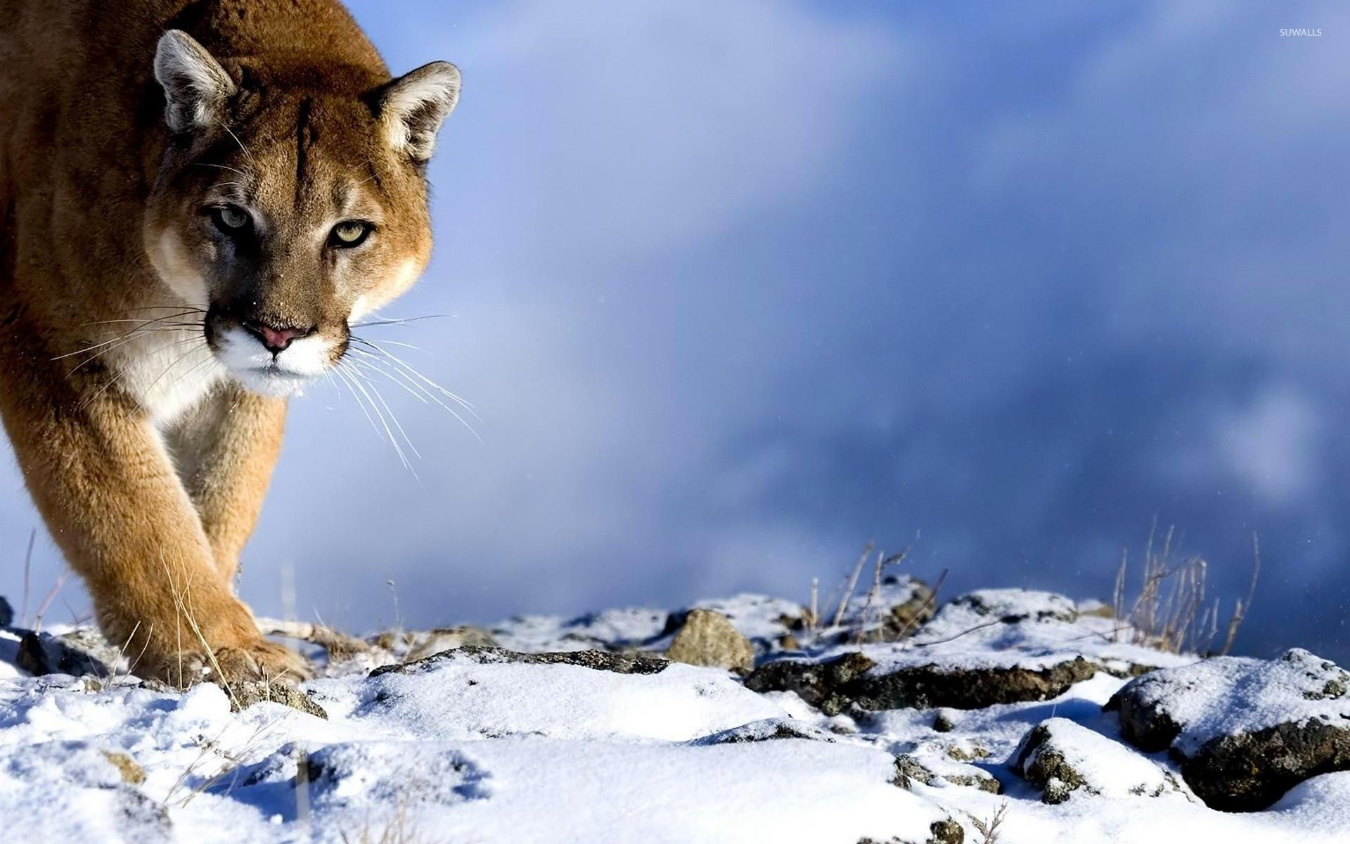Strong Wallpapers Quotes Cougar In The Snow Wallpaper Animal Wallpapers 53338