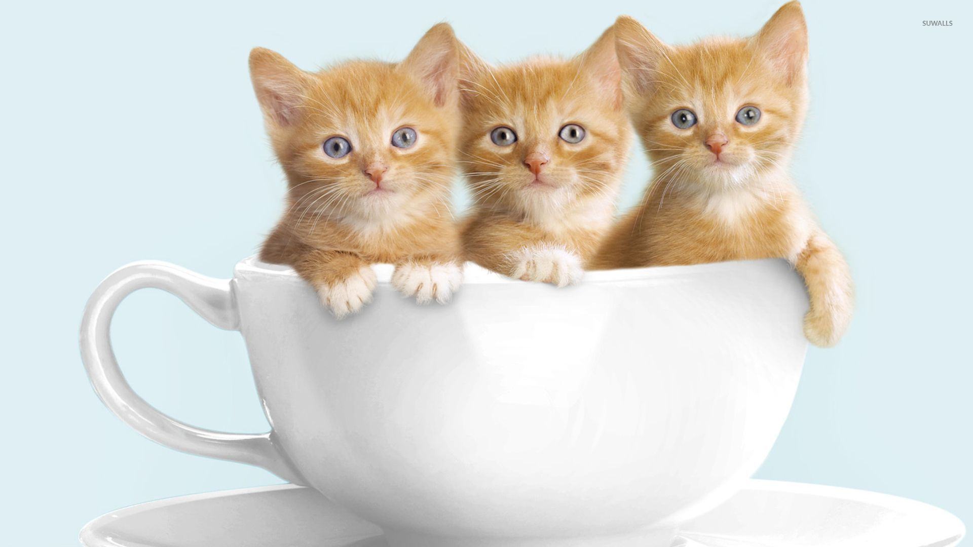 Cute Kitty Cartoon Wallpaper Cute Kittens In A Cup Wallpaper Animal Wallpapers 50398