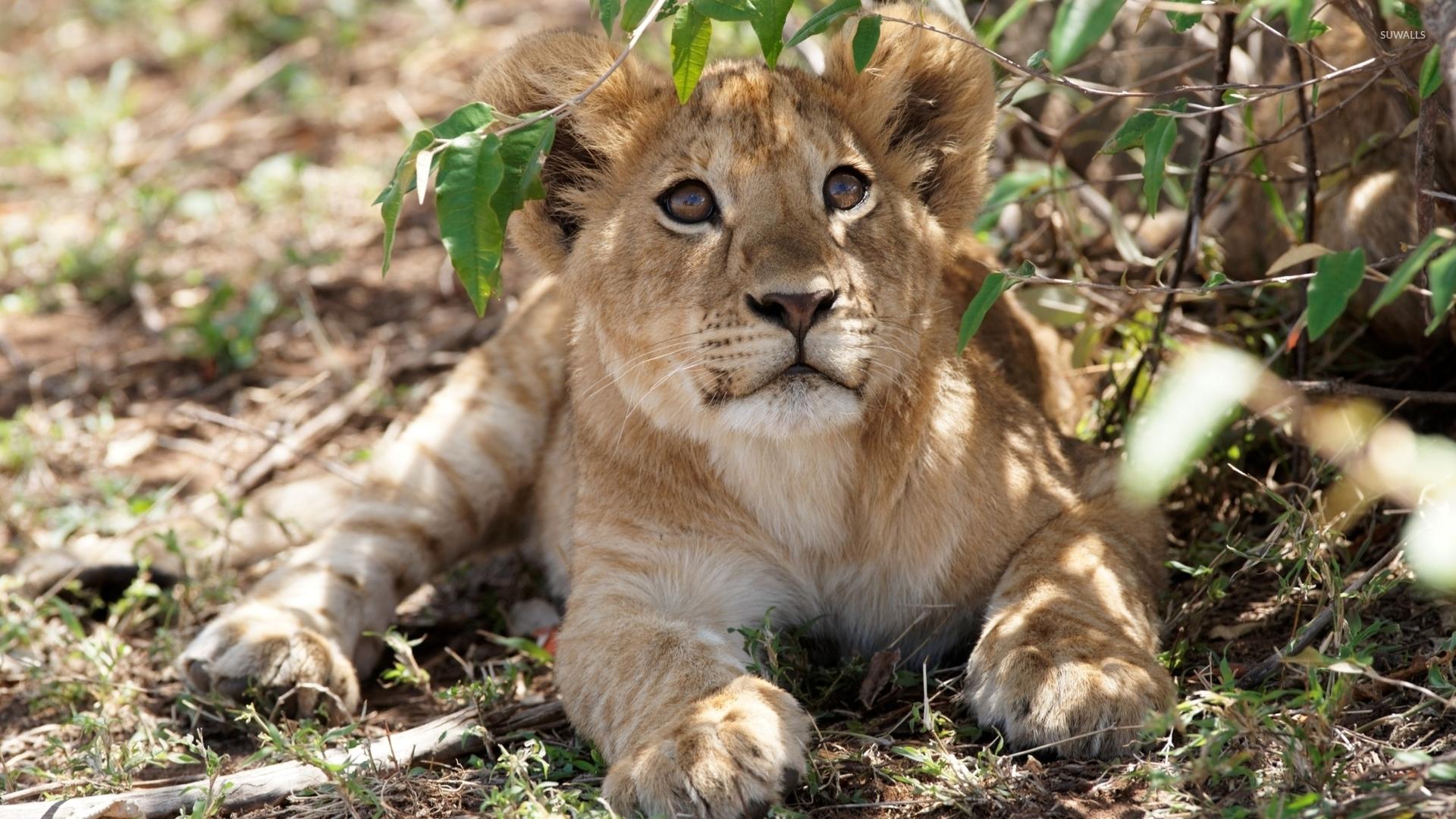 Cute Cubs Wallpaper Cute Lion Cub Looking Up Wallpaper Animal Wallpapers