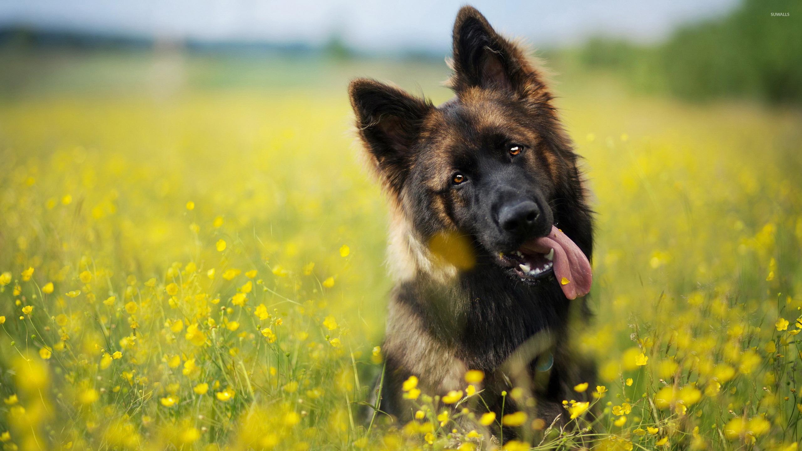 Cute Puppies Wallpaper Backgrounds German Shepherd 4 Wallpaper Animal Wallpapers 39517