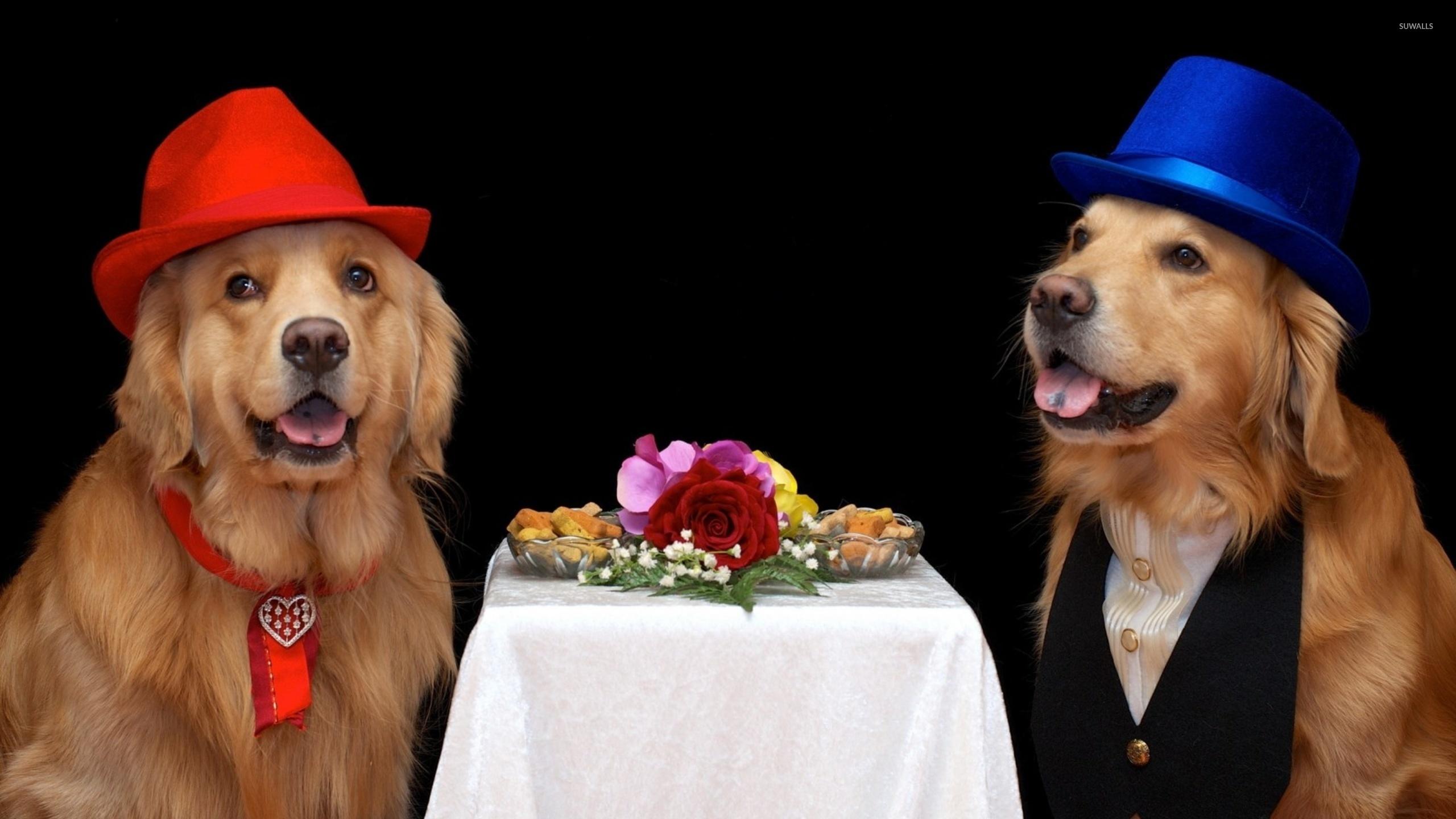 Fall Puppy Wallpaper Golden Retriever Wearing Hats Wallpaper Animal
