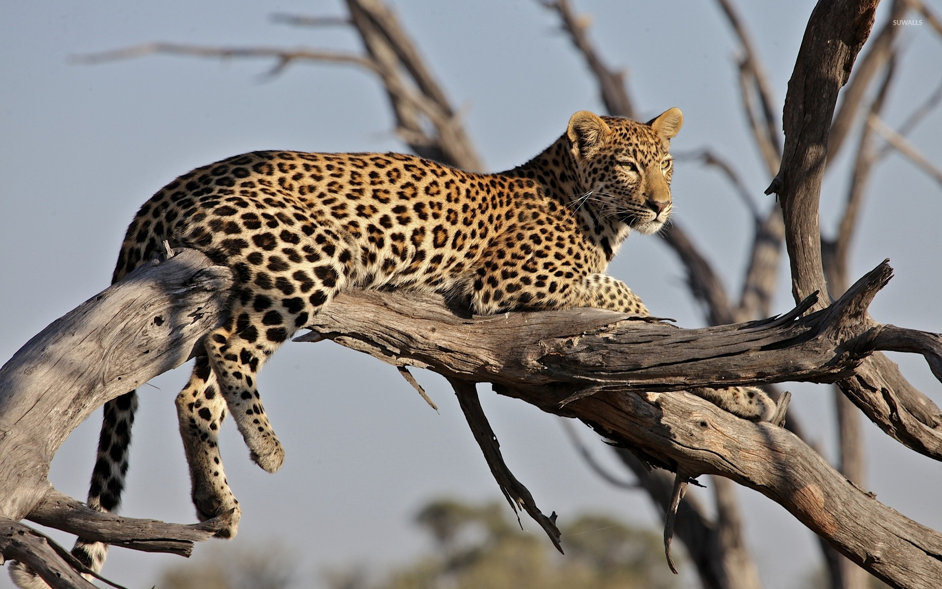 Free Winter Animal Wallpaper Leopard On A Branch Wallpaper Animal Wallpapers 43621