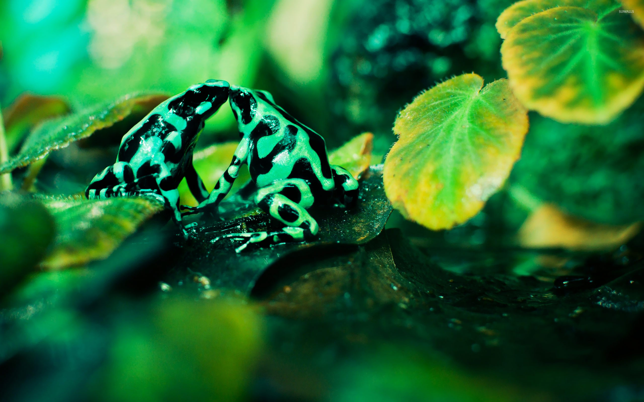 Funny Frog Wallpaper Quotes And Pictures Poison Dart Frogs Kissing Wallpaper Animal Wallpapers