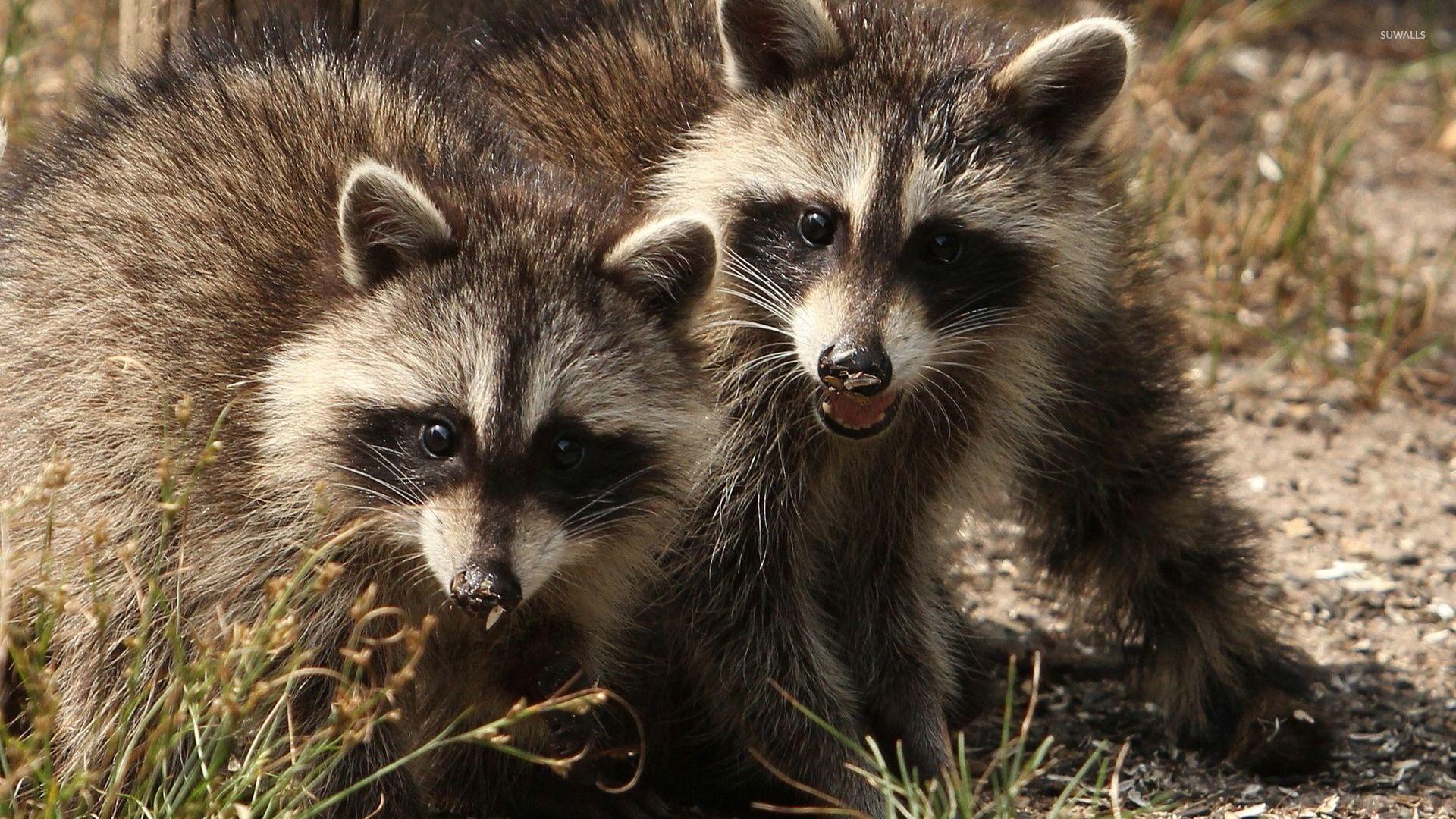 Cute Dog Winter Wallpaper Raccoons Wallpaper Animal Wallpapers 46782