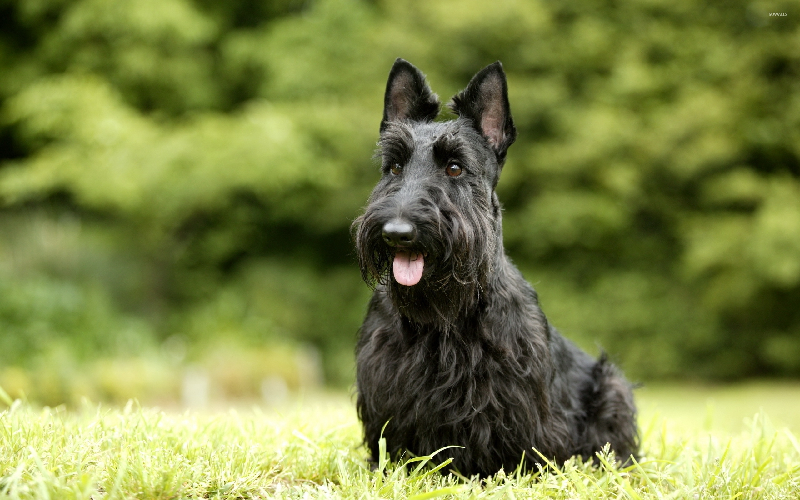 Cute Minimalistic Wallpapers Scottish Terrier Wallpaper Animal Wallpapers 45674