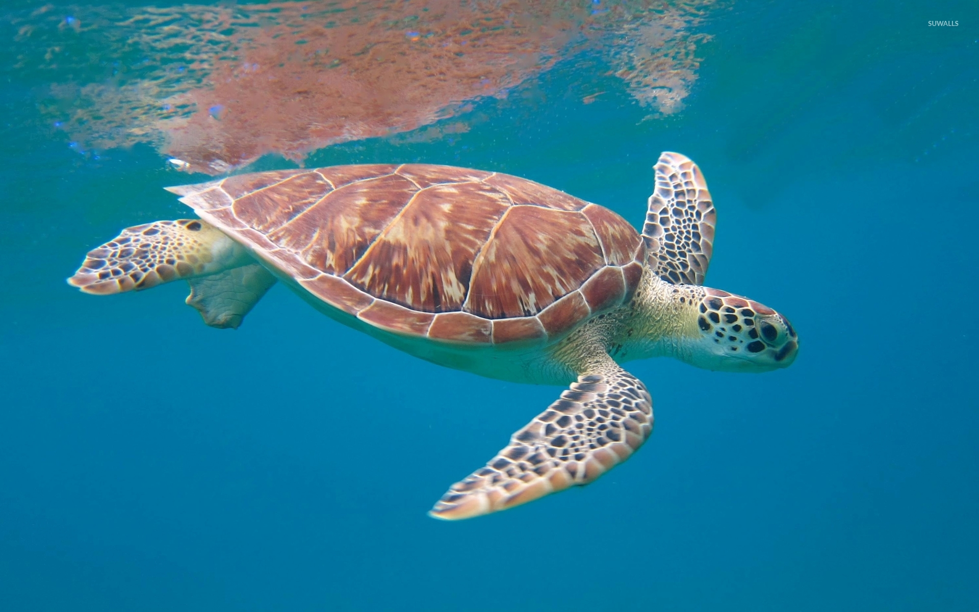 Swimming Wallpaper Quotes Sea Turtle 3 Wallpaper Animal Wallpapers 43311