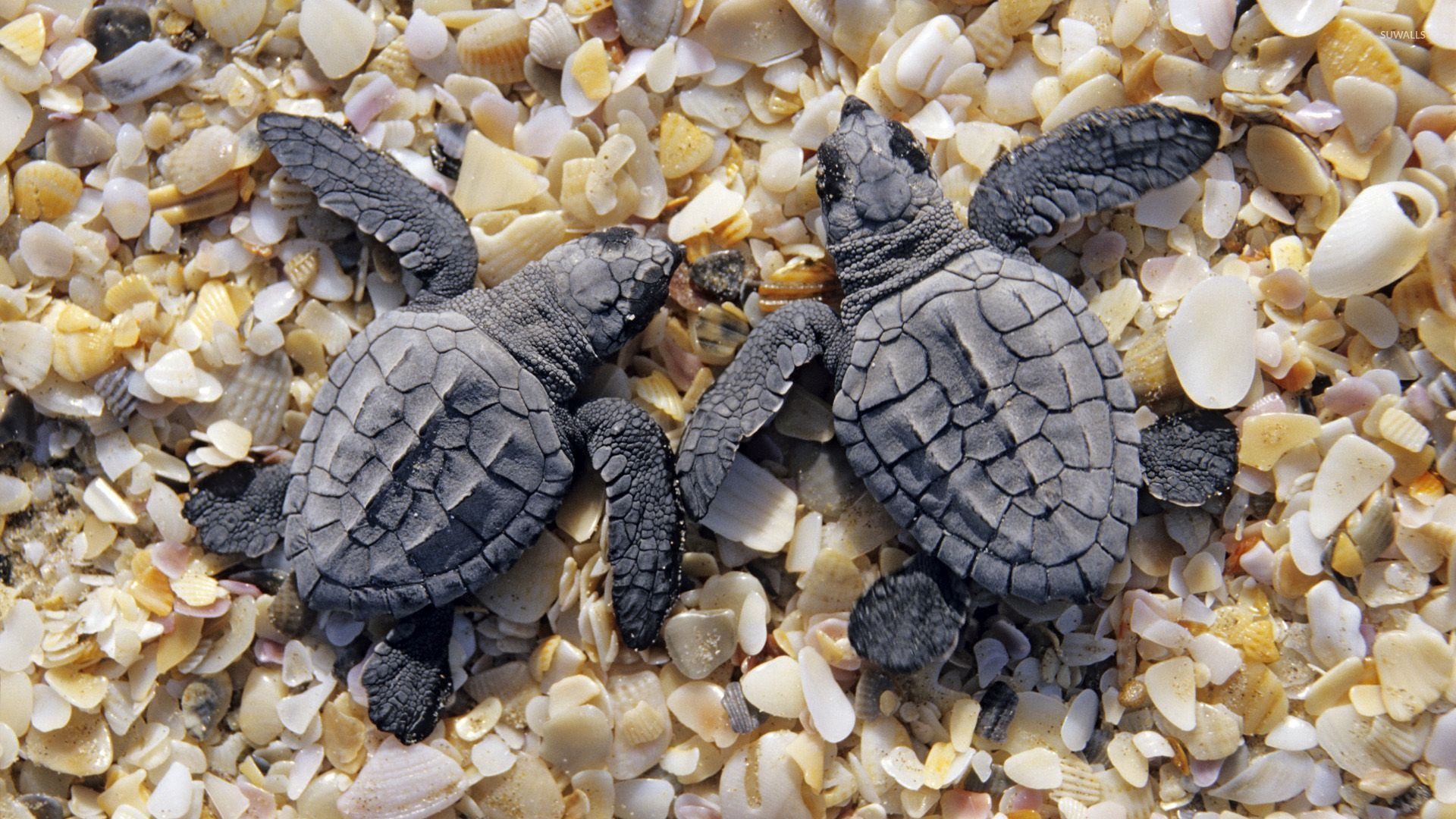 Sea Turtles Wallpaper Sea Turtles On Shells And Pebbles Wallpaper Animal Wallpapers