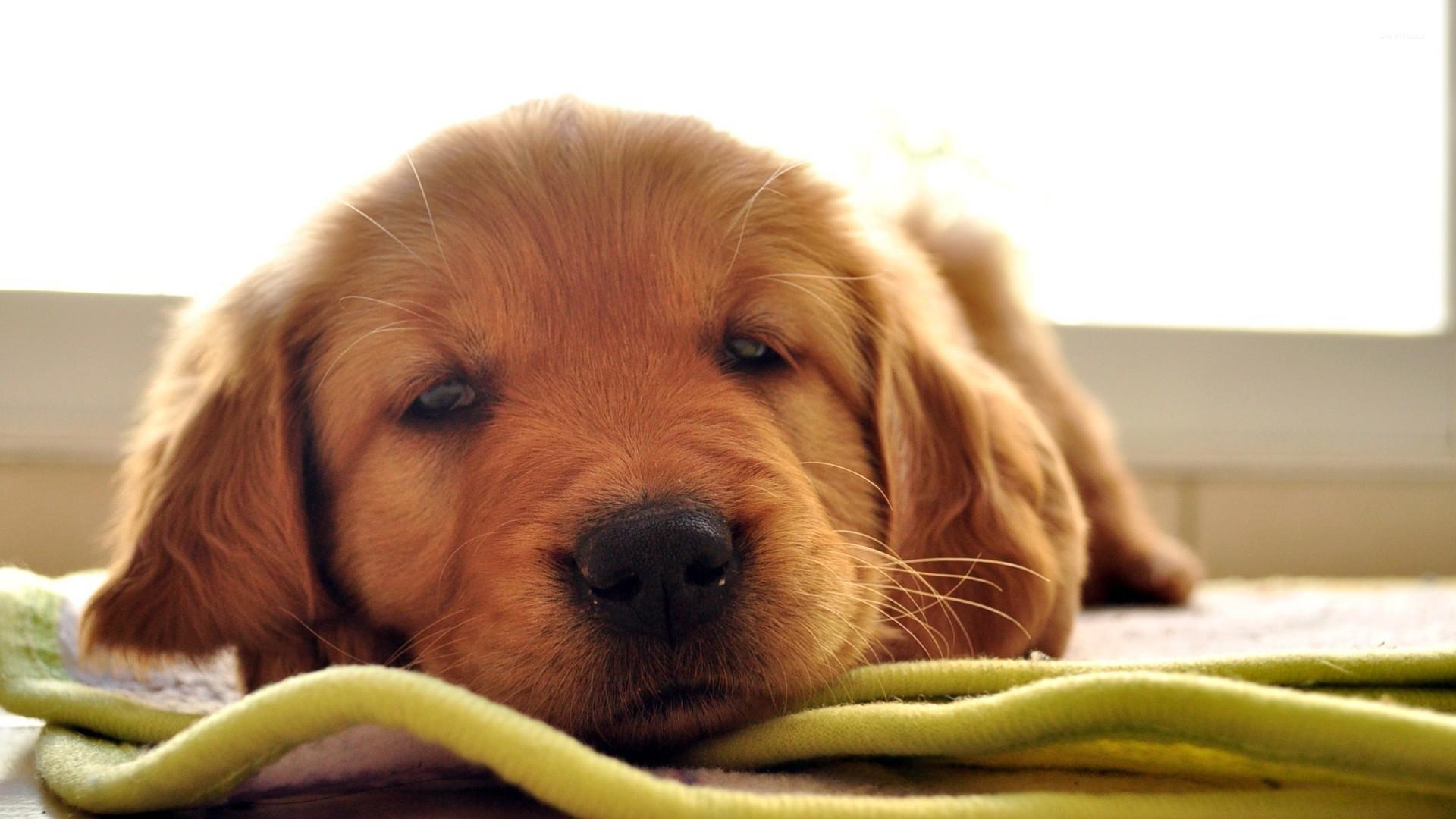 Husky Dog Hd Wallpapers Sleepy Golden Retriever Puppy Wallpaper Animal