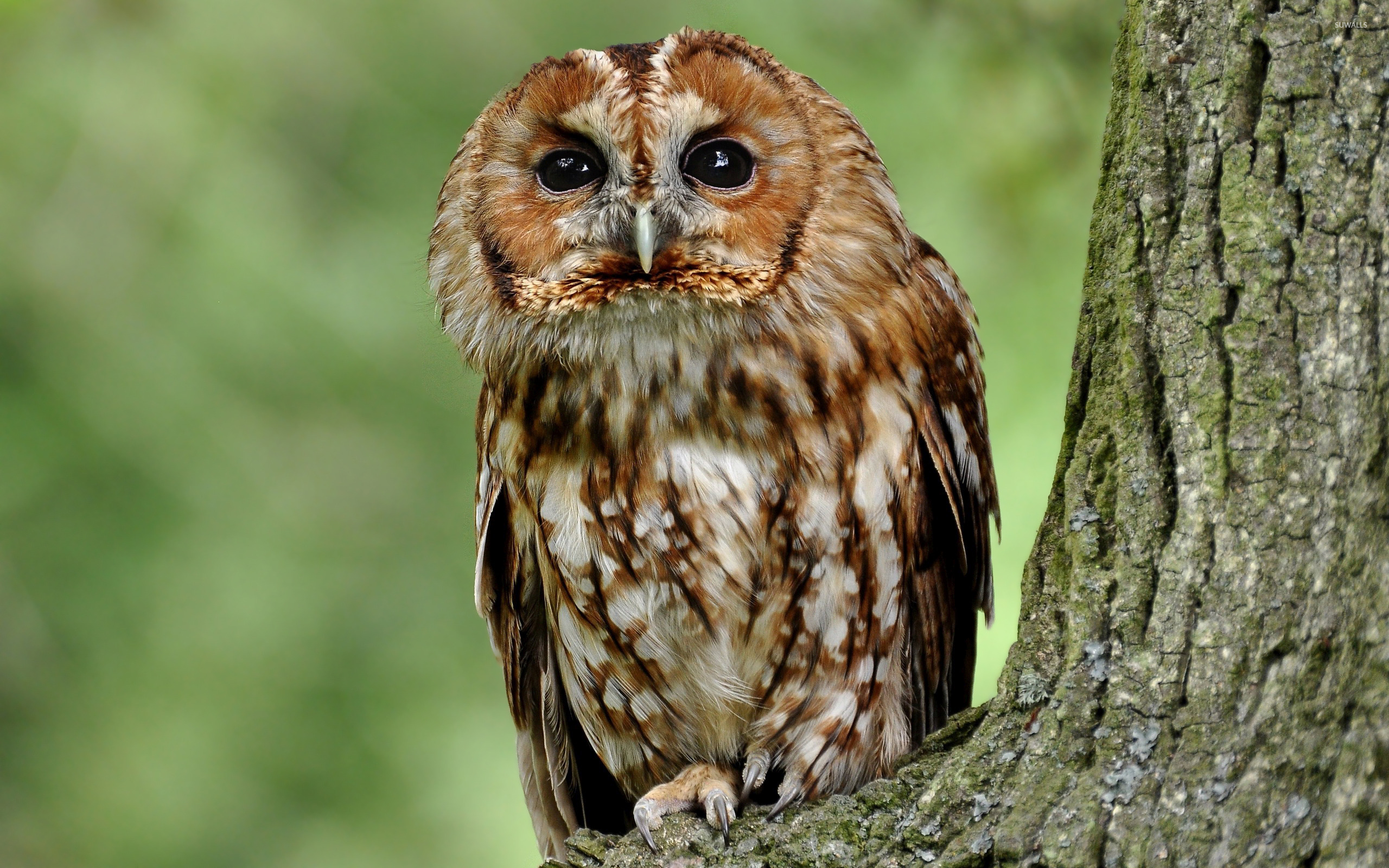 Cute Minimalistic Wallpapers Tawny Owl In A Tree Wallpaper Animal Wallpapers 48362