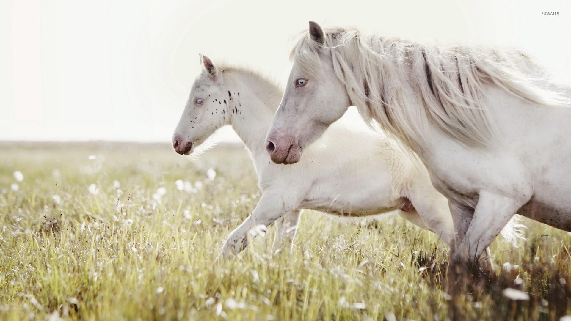 Animal Print Desktop Wallpaper Two White Horses Running On The Meadow Wallpaper Animal