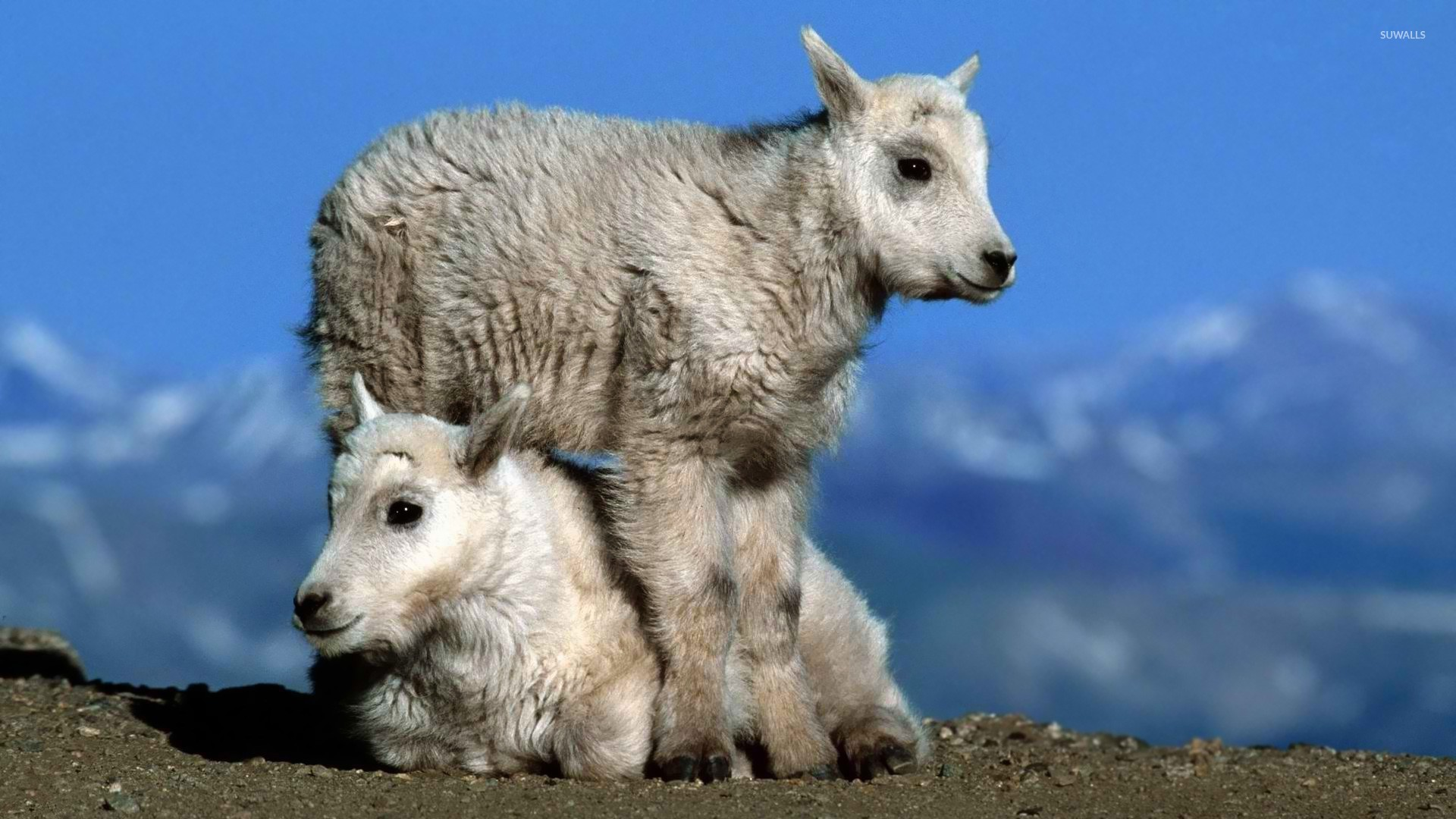 Rocky Wallpaper With Quotes Young Mountain Goats Wallpaper Animal Wallpapers 25791