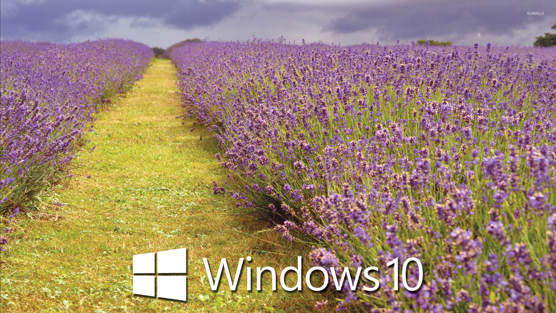 Fall Computer Wallpaper Windows 10 White Text Logo Over The Lavender Field