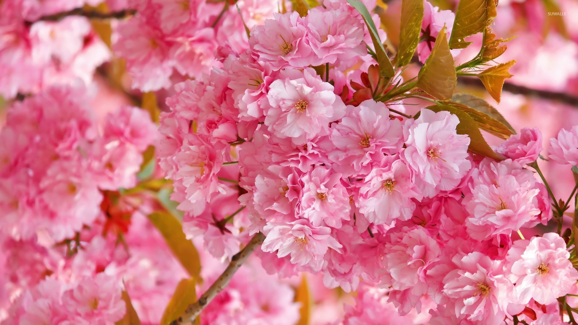 Cute Minimalistic Wallpapers Beautiful Pink Blossoms Wallpaper Flower Wallpapers 52785