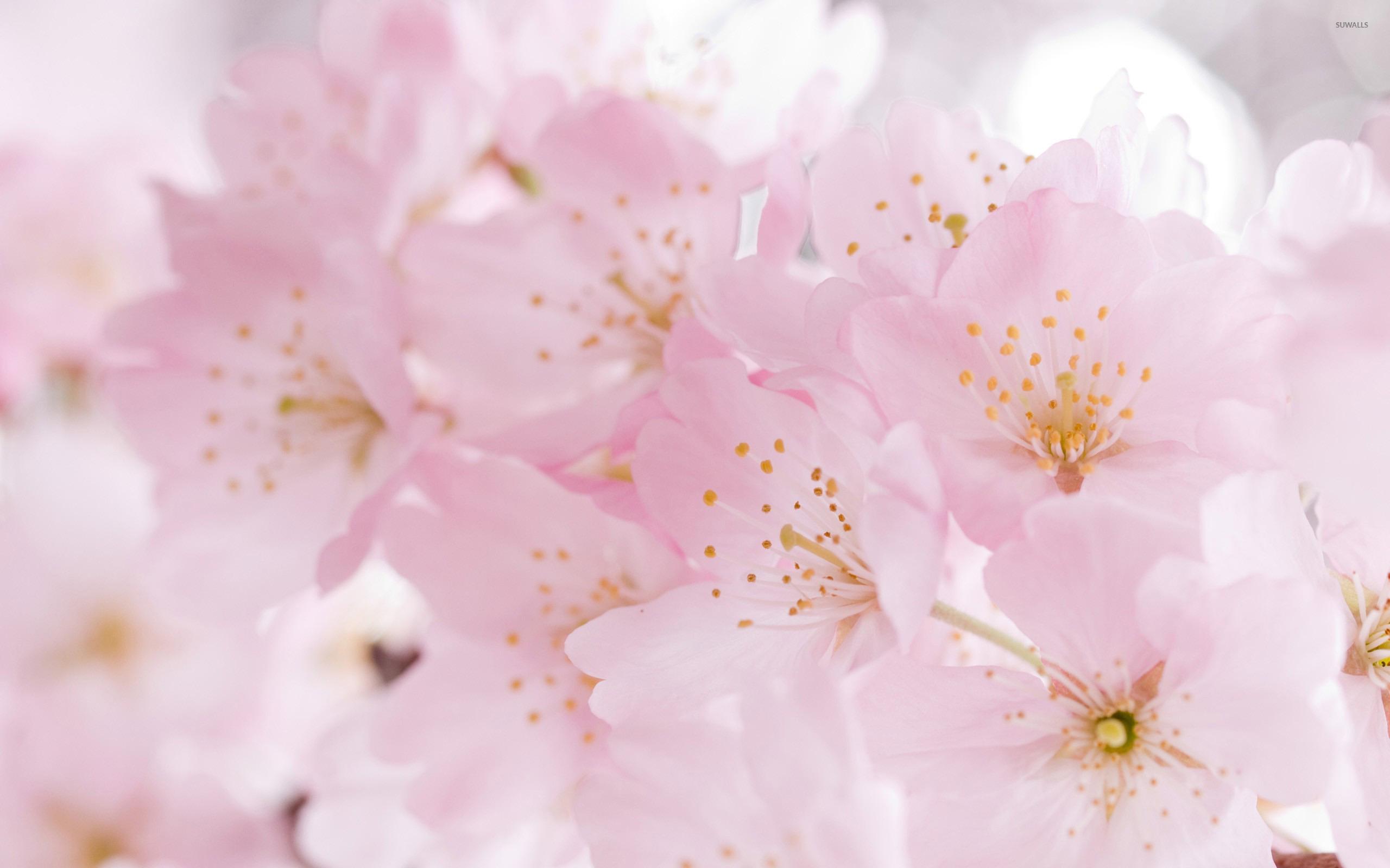 3d Blossoms Live Wallpaper Cherry Blossoms 2 Wallpaper Flower Wallpapers 21592